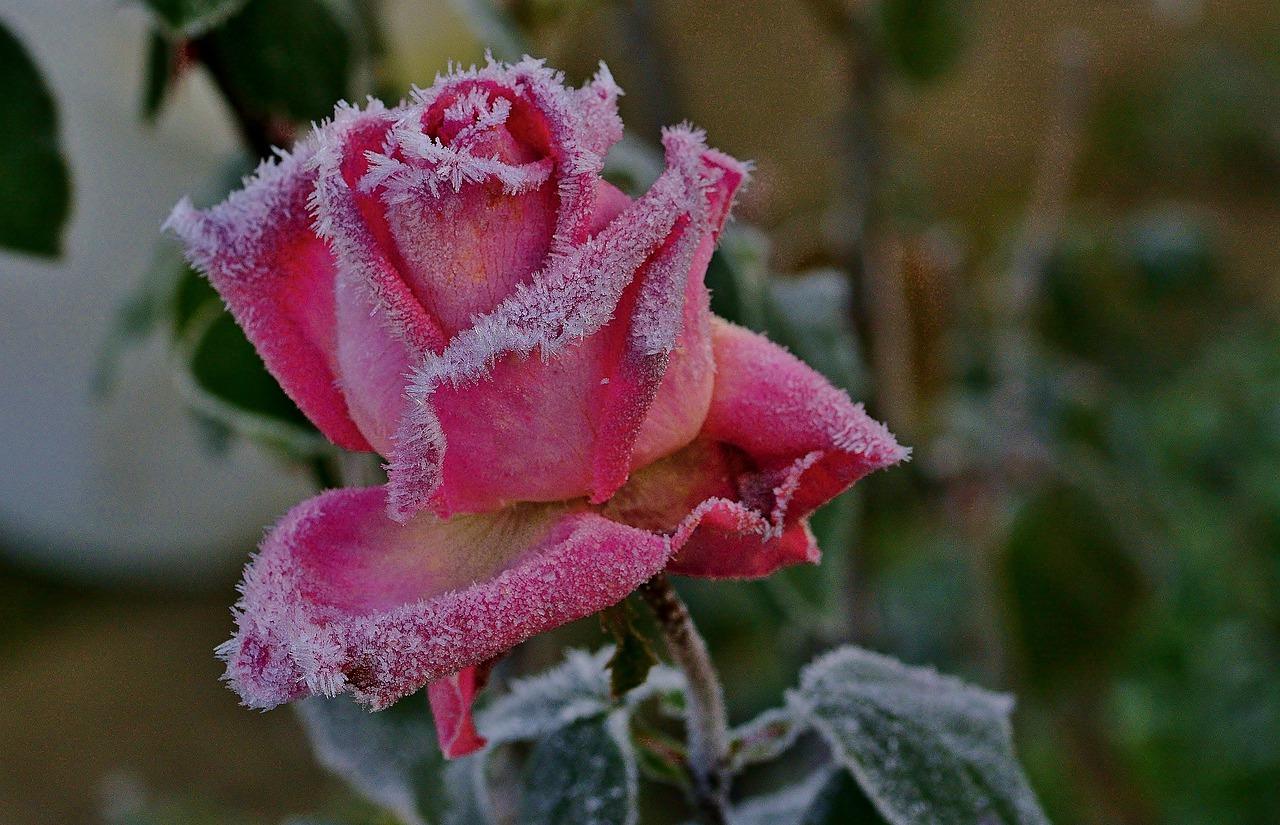 花に降りた霜